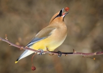 2nd_ColorPrintB_CedarWaxwingTossingACrabappe_GDetonnancourt_Open4
