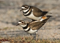 3rd~AA~Springtime for Killdeer~Beckwith Barbara