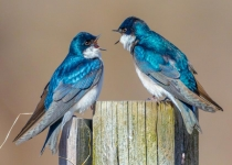 1st~AA~Tree Swallows~Kevin Bernard