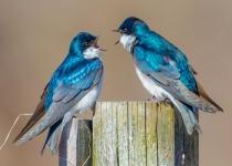 1st~AA~Tree Swallows~Kevin Bernard