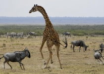 2nd-32~A~Giraffe VS Wilderbeast~Rizvi Syed