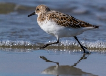 1st~A~Sanderling on the Run~Tara Marshall