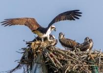 2nd~A~Osprey Family~Tara Marshall