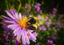 2nd~B~Bee on Coneflower~Michael DiStefano