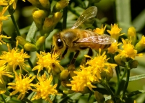 3rd~A~Honeybee Working Goldenrod~Warren Beckwith