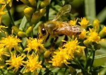 3rd~A~Honeybee Working Goldenrod~Warren Beckwith