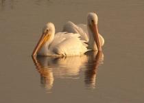 3rd~B~Pelicans at Dawn~Nancy Maddocks