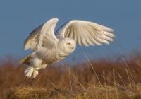 3rd AA  Snowy owl Bernard, Kevin