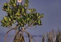2nd-AResting-in-the-Mangrove-LagoonEhrlich-Owen