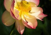 72ALotus-Blossom-in-ColorDiStefano-Michael