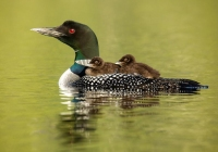 30_1st_Color-B-Prints_Loon-Mom-and-Backriding-Loon-Chicks_Susie-Dorr
