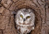 3rd Class B  Screech Owl by Lisa Bushee