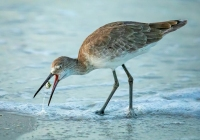 2nd_Color-B  Print  Sand Piper with Crab by Susie Dorr