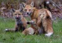 32AARed-Fox-Feeding-TimeKerrigan-Noreen
