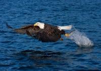 1st-AA  Homer-Eagle-Fishing   Goulet-Dennis