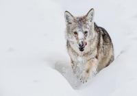 2nd-AA  Yellowstone-Coyote   Zuzarte-M-D-Karl