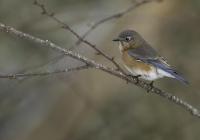 30_3rd_Color-A_Female-Bluebird-in-January_Owen-Erlich
