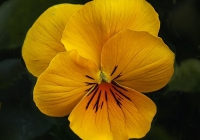 A-2-Golden_Yellow_Pansy
