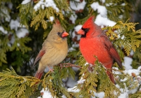 Class-B-Color-Print-IOY-Winter-Cardinals-by-Craig-Colson