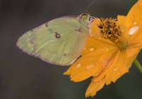 1st-Class-A-Clouded-Sulphur-Butterfly-by-Kathy-French
