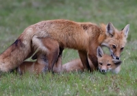 1st-Class-AA-Red-Fox-with-Kits-by-Noreen-Kerrigan