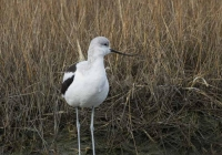 2nd-Class-A-Non-breeding-American-AVocet-by-Kathy-French