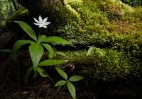 2nd-Class-AA-Star-Flower-by-Dennis-Goulet