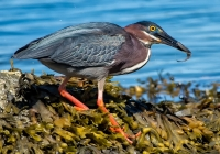 3rd-aa-green-heron-with-breakfast-78496-uliss-david