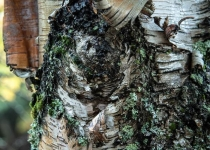 White birch bark by Laura Landen