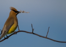 3RD~A~ceder waxwing~Bliss Jaye