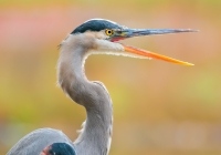 2nd~B~Great Blue Heron~Bernard Kevin