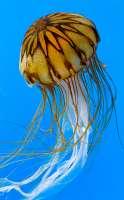 HM~AA~Jellyfish~Marceau Michael