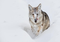 Yellowstone-Coyote