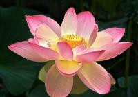 Haley Louise-Lotus Bloom #2
