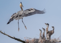 2nd A~Great Blue Heron Family~Kerrigan Noreen