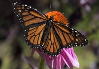 2nd B~Monarch~French Kathy