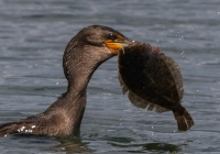 3rd A~Cormorant with Flounder~Kerrigan Noreen