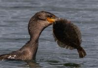 3rd A~Cormorant with Flounder~Kerrigan Noreen
