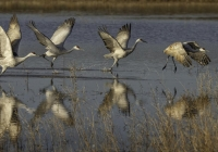 2ndBSandhill-Crane-Take-Off-SequenceEhrlich-Owen