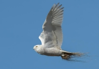 2ndASnowy-Owl-in-FlightKerrigan-Noreen