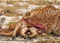 1st~~AA~Cheetah Gorging~Mary Doo
