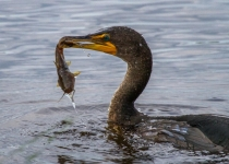 2nd~A~Cormorant and Catfish~Tara Marshall