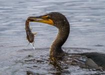2nd~A~Cormorant and Catfish~Tara Marshall