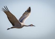 2nd~B~Sandhill Crane in Flight~Karen Johnson-Nieuwendijk