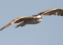 3rd~B~Osprey in Flight~Nancy Maddocks