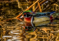 1st~A~Wood Duck Reflection~Babin Sue