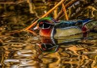 1st~A~Wood Duck Reflection~Babin Sue