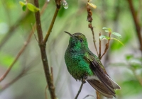 2ndACosta-Rica-HummingbirdBabin-Sue