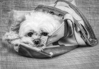 2nd-B&W  Noreen-Berthiaume-Puppy-in-a-Purse
