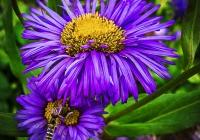 2nd~72~B~Bee on Purple Aster~Johnson-Nieuwendijk Karen